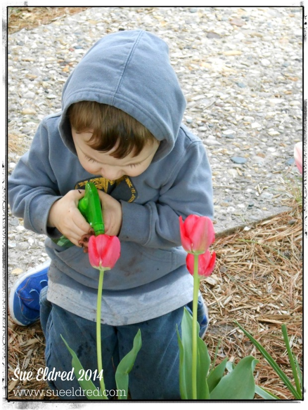 Nick watering the tulips